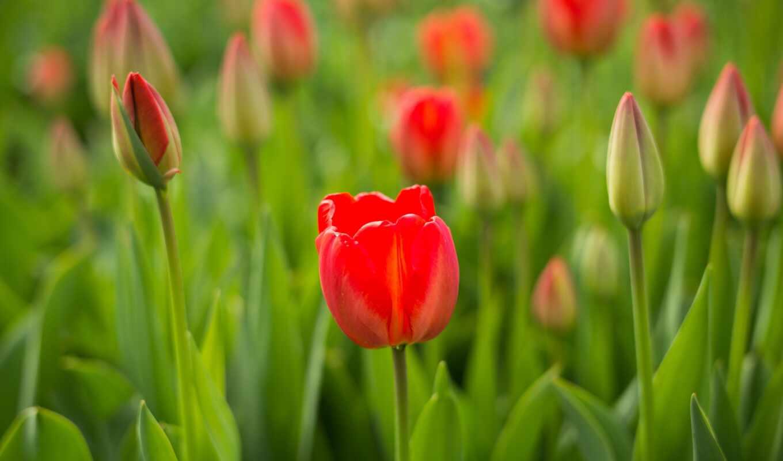 тюльпан, цветы, sprenger, бутон, фон, ноутбук, планшетный, телефон, лепесток
