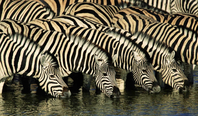 zebras, animals, africa, free, savannah, зебр, high, widescreen, зебра,