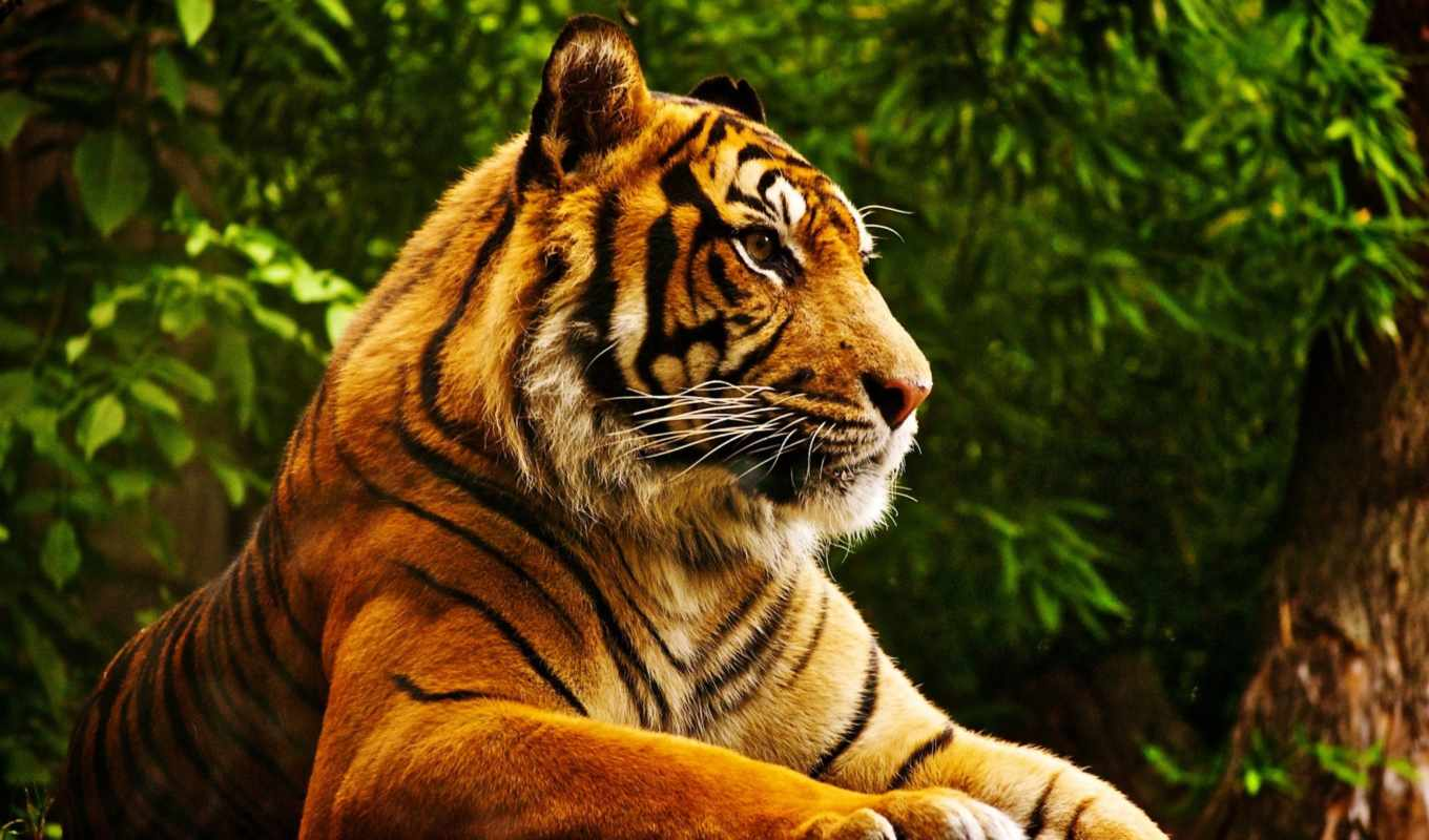 free, tiger, wild, high, download, quality, look,