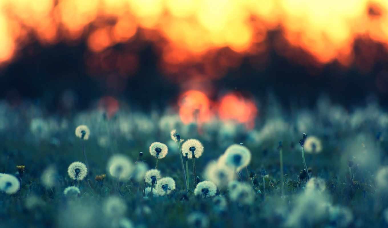 summer, природа, поляна, одуванчики, растения, вечер, цветы, травы,