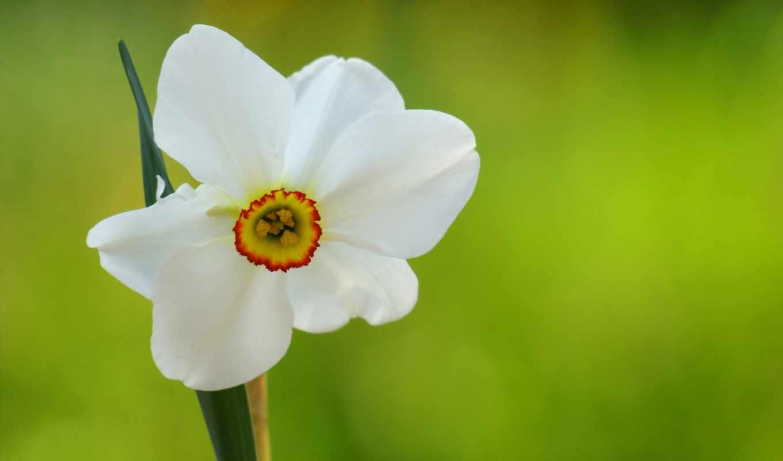 one, narcissus, нарциссы, цветы, cvety, цветов, макро, за, knowledge, zoom, тюльпаны,