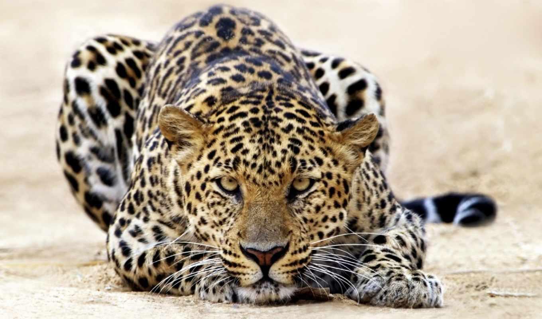 леопард, zhivotnye, смотрит, земле, possible,