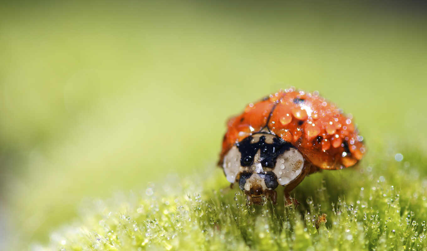 wet, ladybug, bug, animal, wallpaper, lady, nature, ladybird, божья, коровка, macro, росе, super, букашка, wallpapers, small, to, утренней,