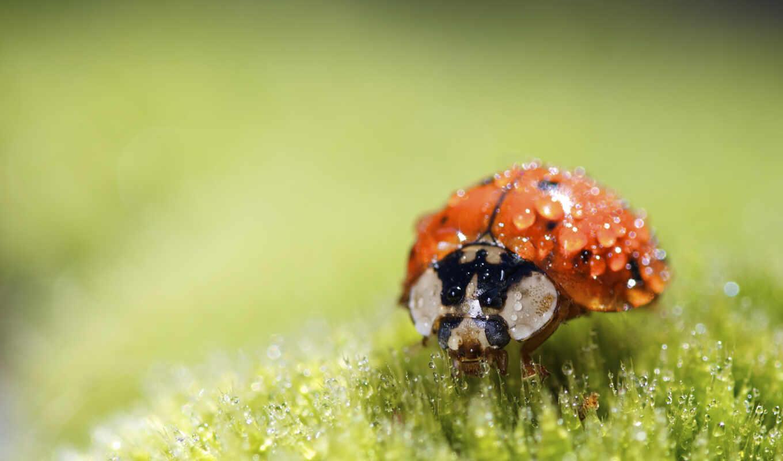 wet, ladybug, bug, animal, wallpaper, lady, nature, ladybird, божья, коровка, macro, росе, super, букашка, wallpapers, small, to, утренней,