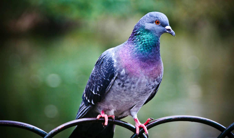 pigeon, desktop, download, click, resolution, background, перья,