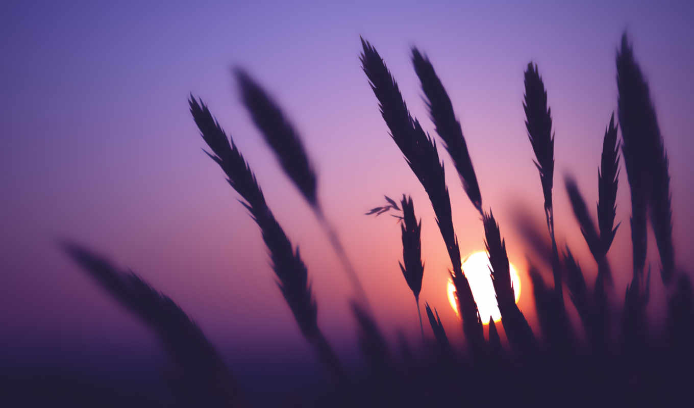 вечер, колоски, колосья, закат, поле, сиреневое, макро, небо, размытость,