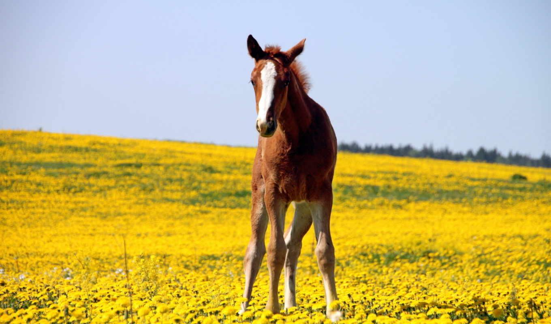поле, лошадь, лошади, небо, животные, жеребенок, лошадей, цветы,