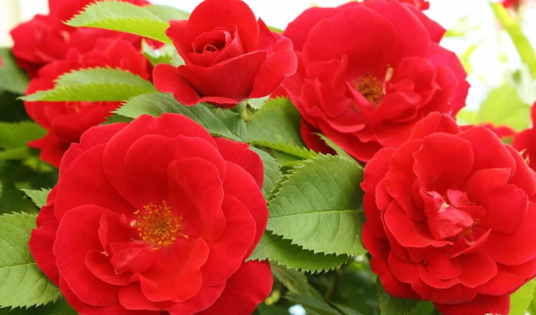 красные, ipad, аватары, розы, samsung, more, вконтакте, платформу, coffee,