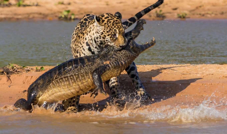 крокодил, ipad,
