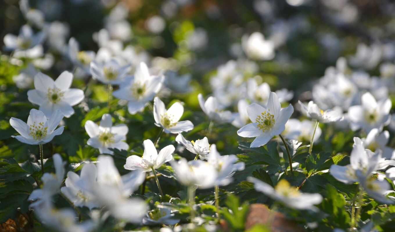 gullar, гуль, цветок, цветы, бельe, lesnoi, жасмин, kartinka, лола, tashkent, rasmlari