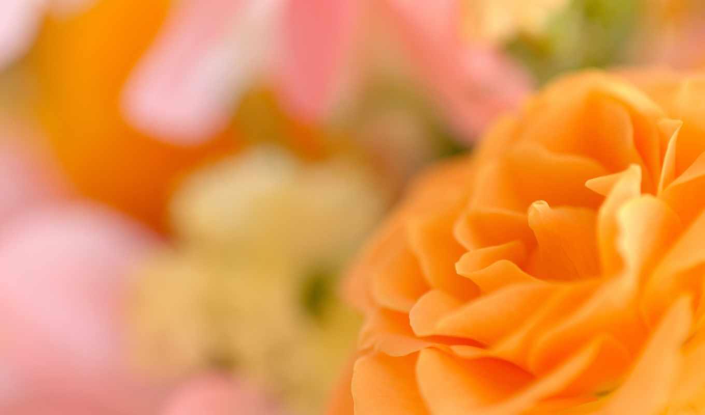 лепестки, боке, цветок, рунункулус, rose, petals, просмотров, flowers, макро,