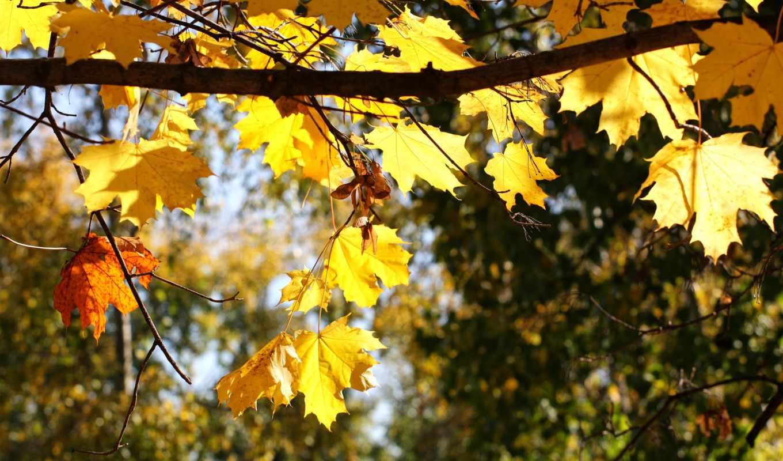 природа, листья, осень, ветка,