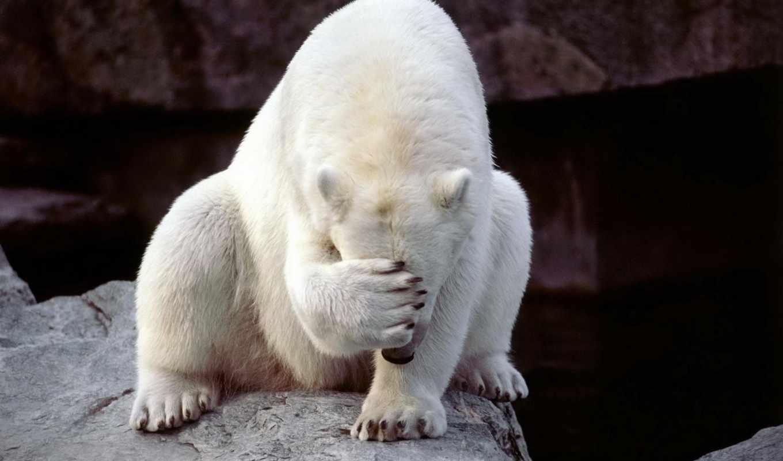 медведь, белый, белые, медведи,