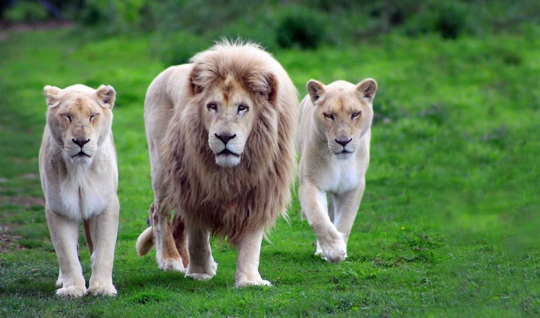 lion, львица, pride, семья, львы, львицы,