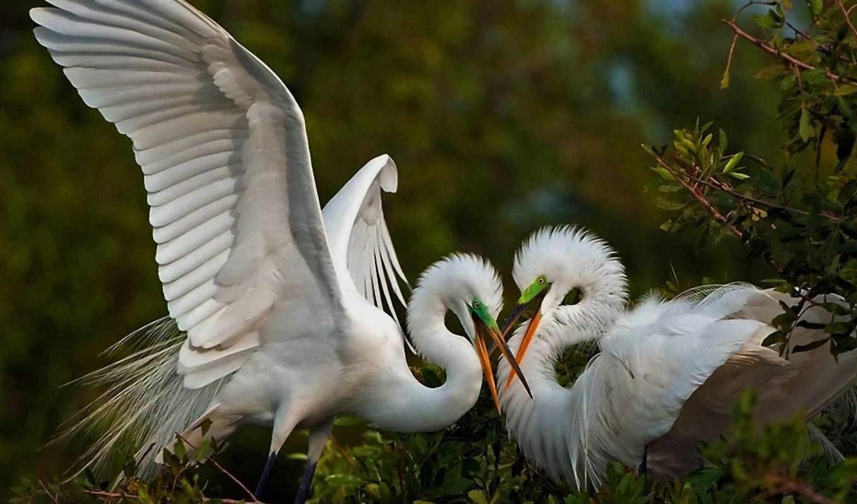 цапля, птицы, игры, pair, белая, птица, взгляд,