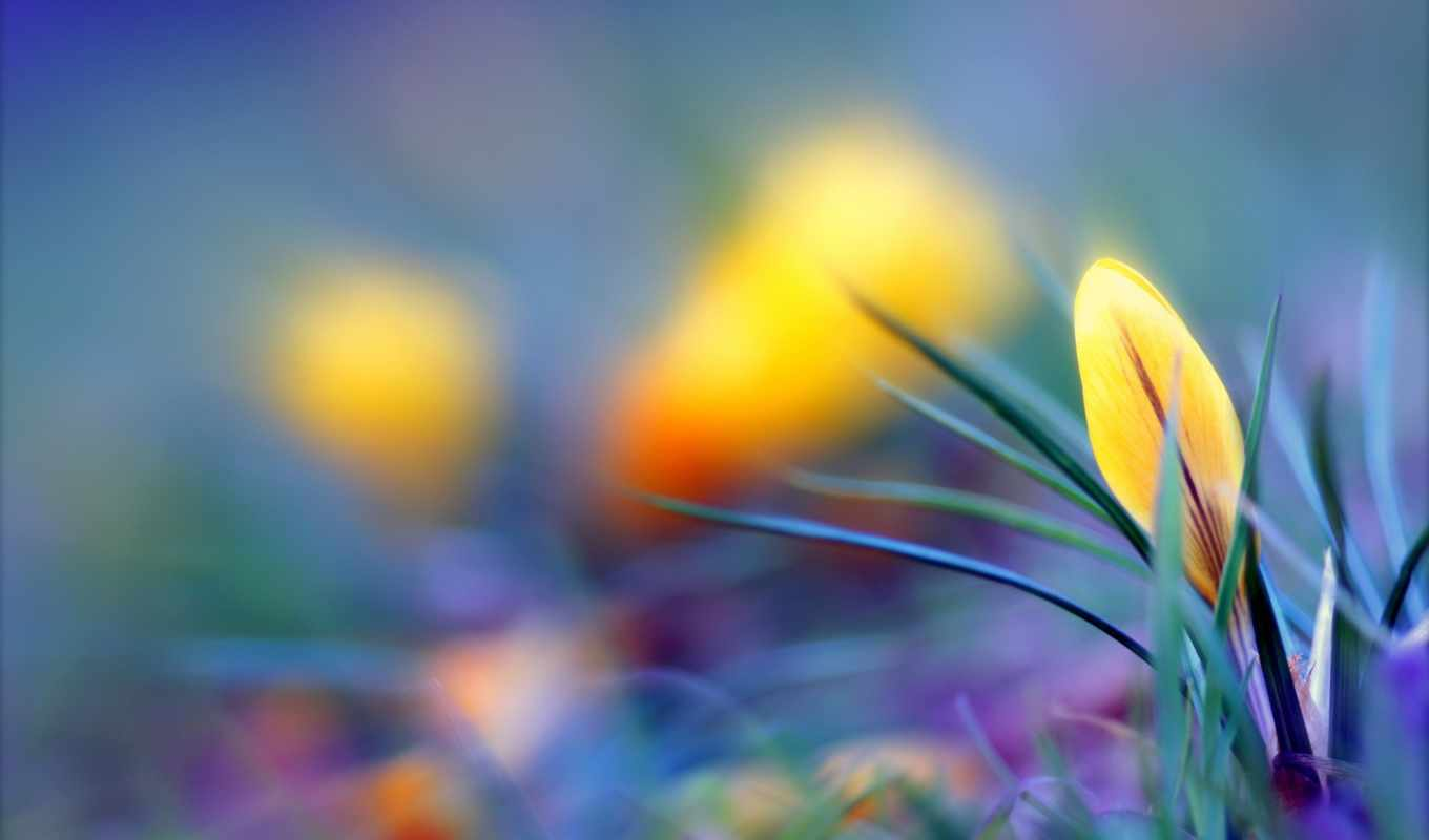 crocuses, крокус, весна, flowers, yellow, purple,
