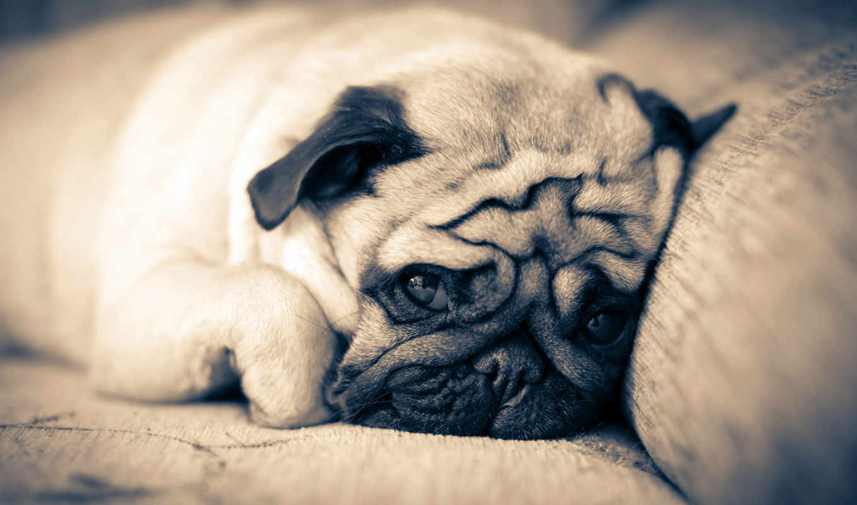 мопс, собака, мопсы, собаки, прогулка, породы, морда, собак, how, яndex,