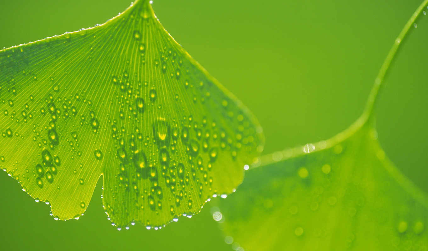 green, leaves, ginkgo, bidibidi, pictures, download, hintergrundbilder,