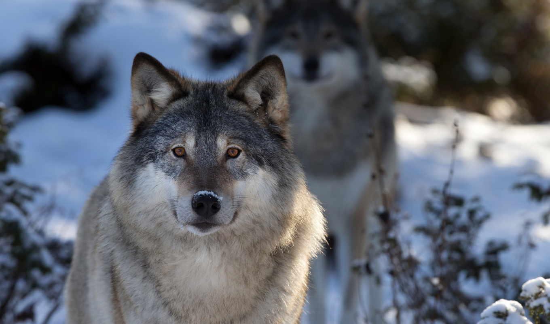 волк, макро, природа, морда, часть,