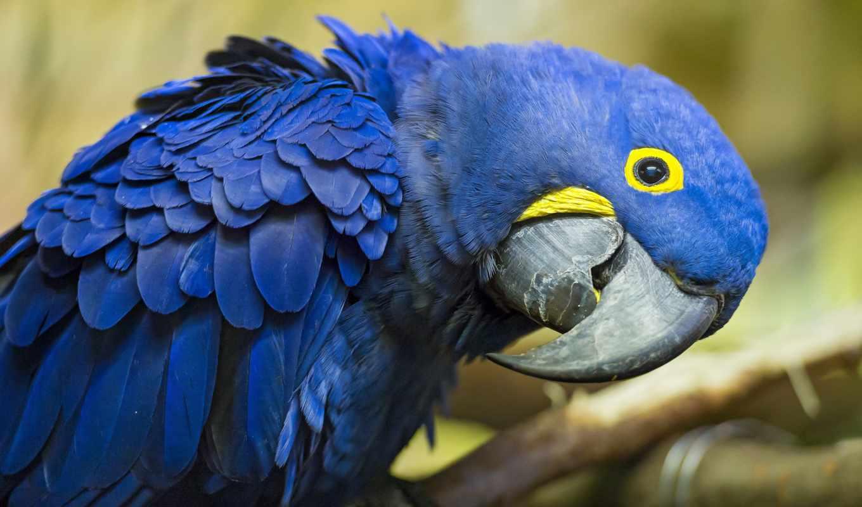 ara, besthdw, попугай, животные, гиацинтовый,