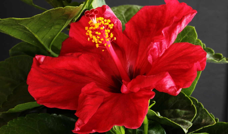 hibiscus, цветы, gros, plan, desktop, para, гибискусы, fleurs, крупным, розы,
