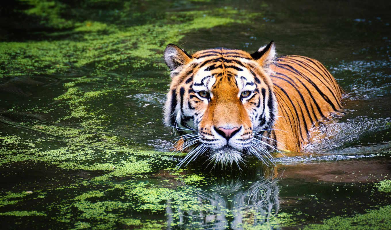 тигр, water, animals, кот, pixabay, free, биг,