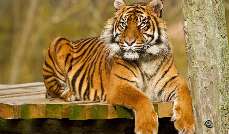 угловые другие тигр фото добрый благодаря присутствию