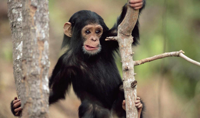 дереве, шимпанзе, обезьяна, card, яndex, коллекциях, маленькая, коллекции, телефон,