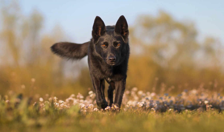 порода, группа, собака, northern