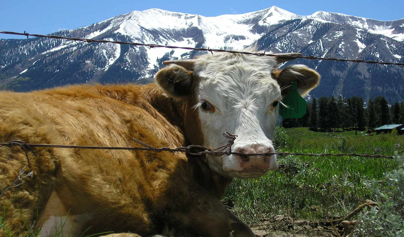 cow, wallpaper, and, wallpapers, jigsaw, desktop, contentment, fullscreen, alpine, widescreen, fence, best, балкария, pack, games, new, öldü, various, новости, картинка, olduk, to, фотография,