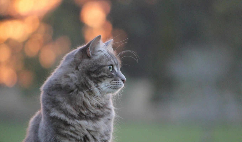 kitten, серая, сидит, cat, adorable, животные, fluffy,