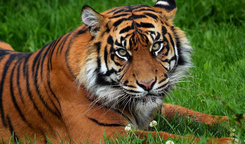 тигр, морда, взгляд, усы, недовольный, картинка, картинку,