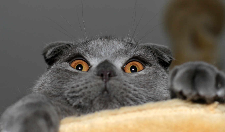 шотландская, кошка, фолд, вислоухая, котэ, скотиш, картинка,