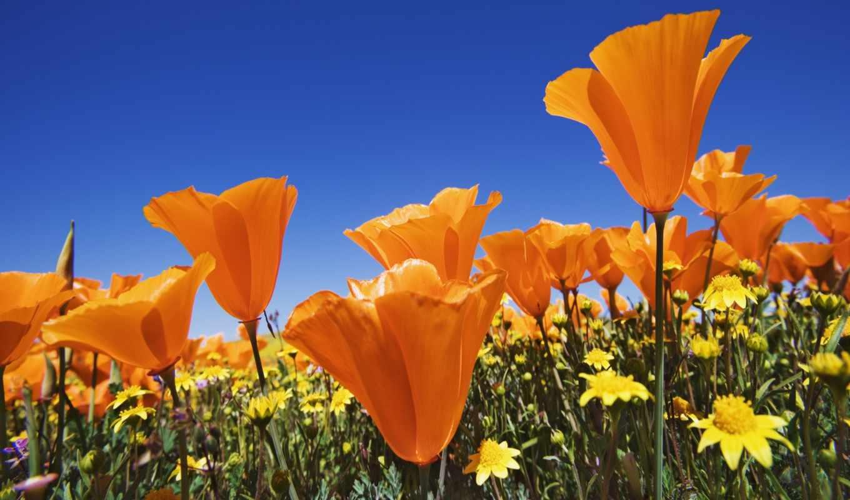 цветы, оранжевые, маки, summer, поле, яркие, небо, blue,