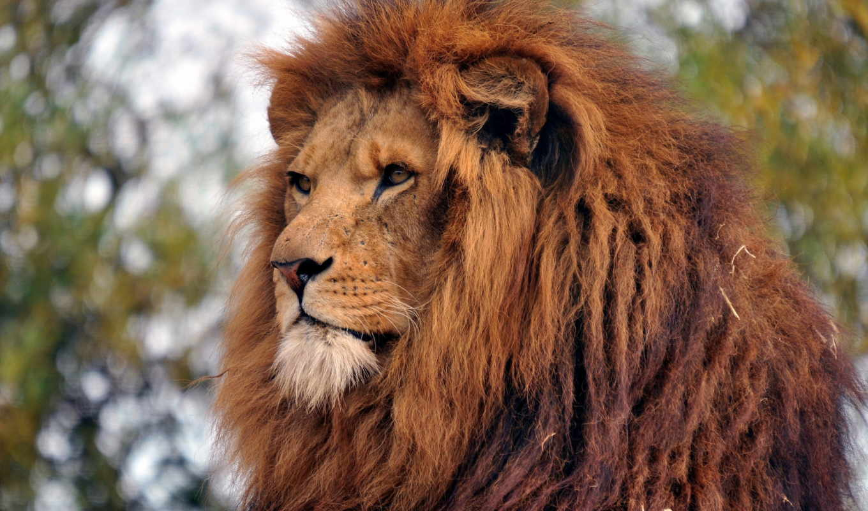 lion, king, зверей, качестве,