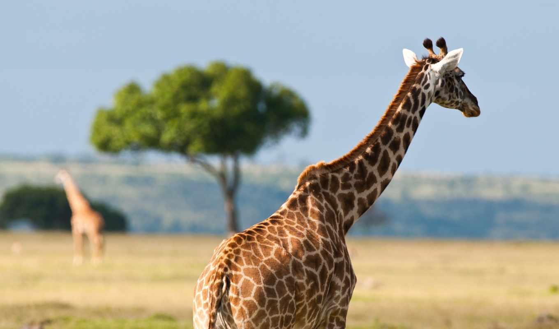 австралия, животные, африка, природа, summer, дикая, тепло,