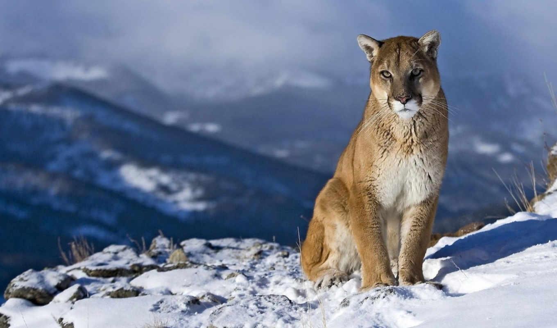 puma, снег, горы, animals, sit, разрешением, lion,