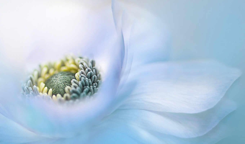 anemone, one, peakpxpage, биг, цветы