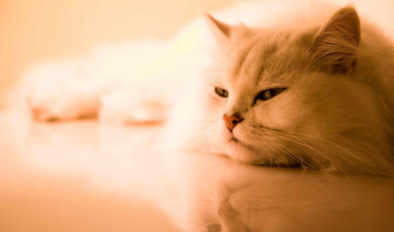 cat, free, persian, download, кошки, утомившийся, house,