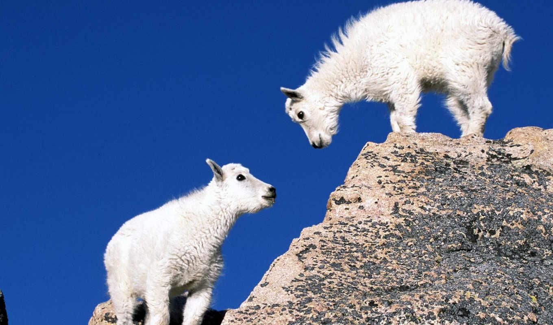 год, козы, овцы, new, года, встречать,