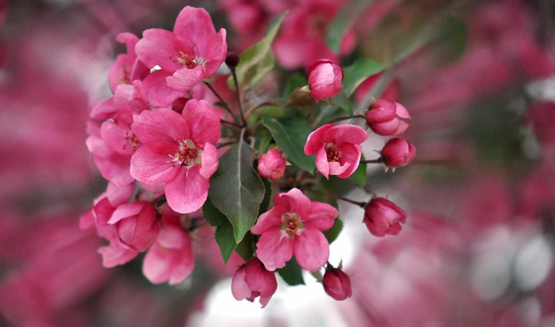 цветы, розовый, лепестки, телефон, взгляд,