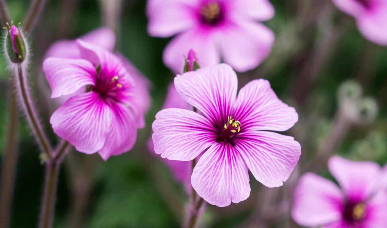цветы, розовые, лепестки, бутоны, герань,