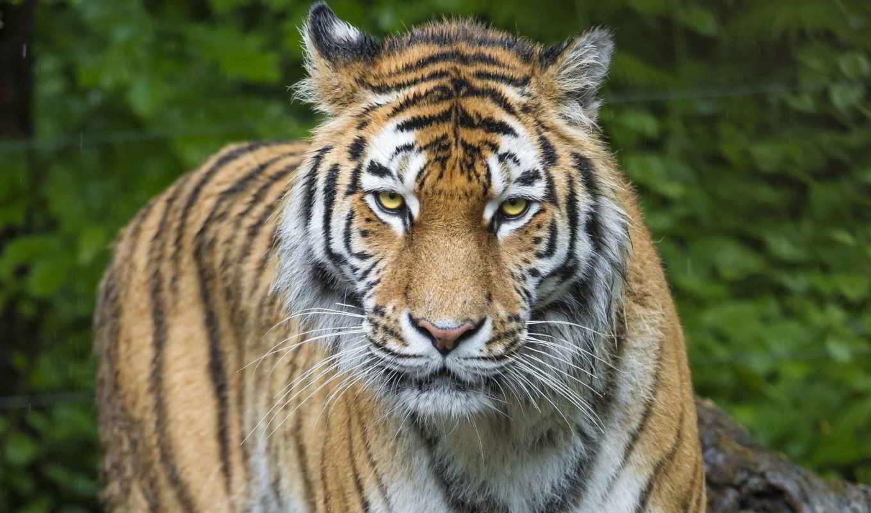 тигр, animal, free, desktop, фон, animals,