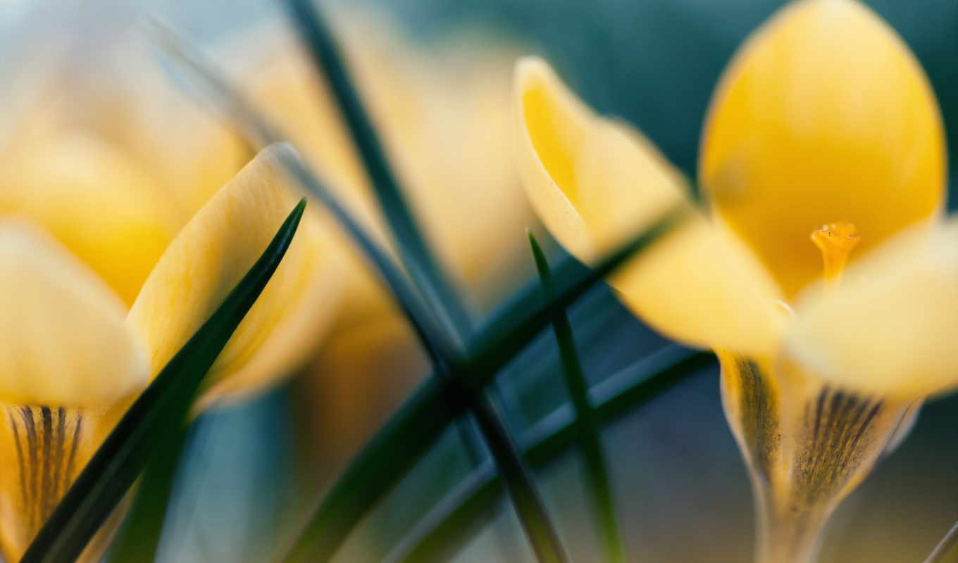 крокус, yellow, цветы, природа, iphone, desktop, flowers, md, papers,