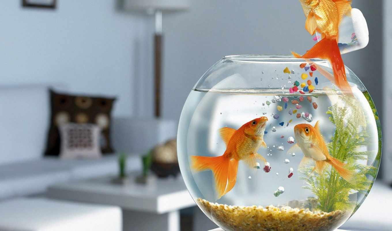 золотая рыбка, корм, фотожаба, аквариум