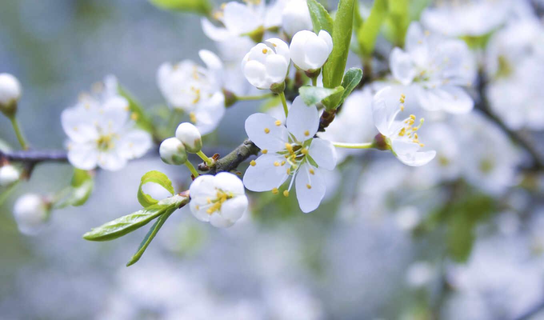 весна, ветка, яблоня, цветущая, природа, цветы, картинка, цветение,