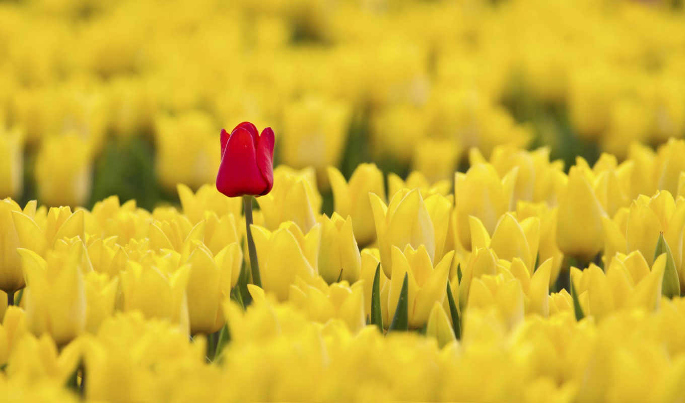 tulips, yellow, red, spring, flowers, tulip, blood,