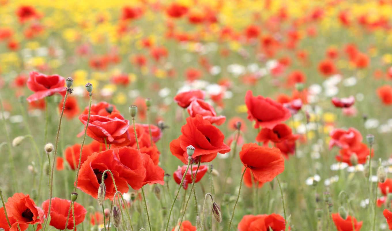 маки, поле, цветы, природа, красные,