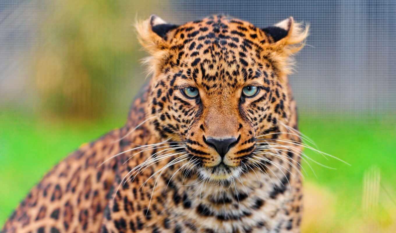 леопард, взгляд, кот, красивый, case, animal, молодой, parallax