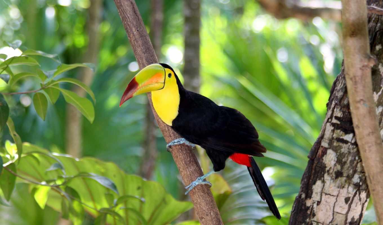 toucan, billed, keel, stvaranja, dokazi, fondo, donde, клювом,